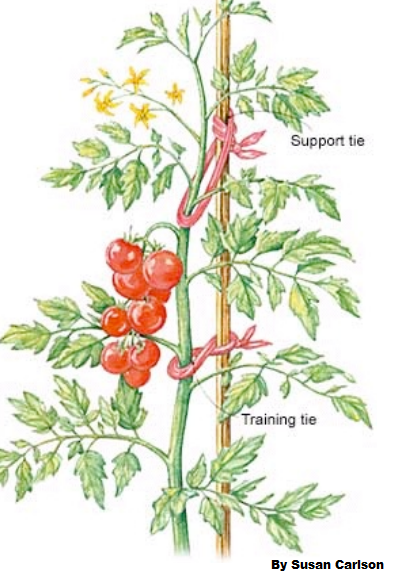 staking tomatoes.png