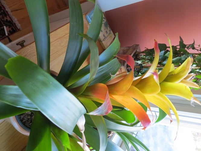 Bromeliads Make Great Colorful Houseplants