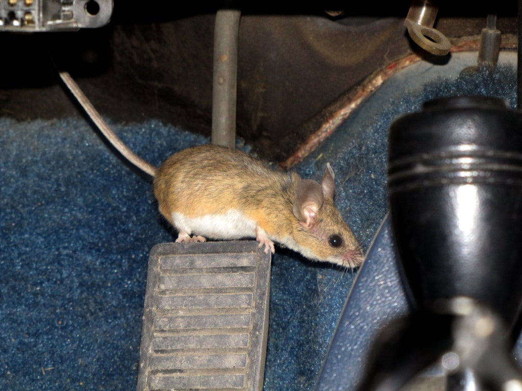How did a mouse get in my car? When animals invade  | Boston com