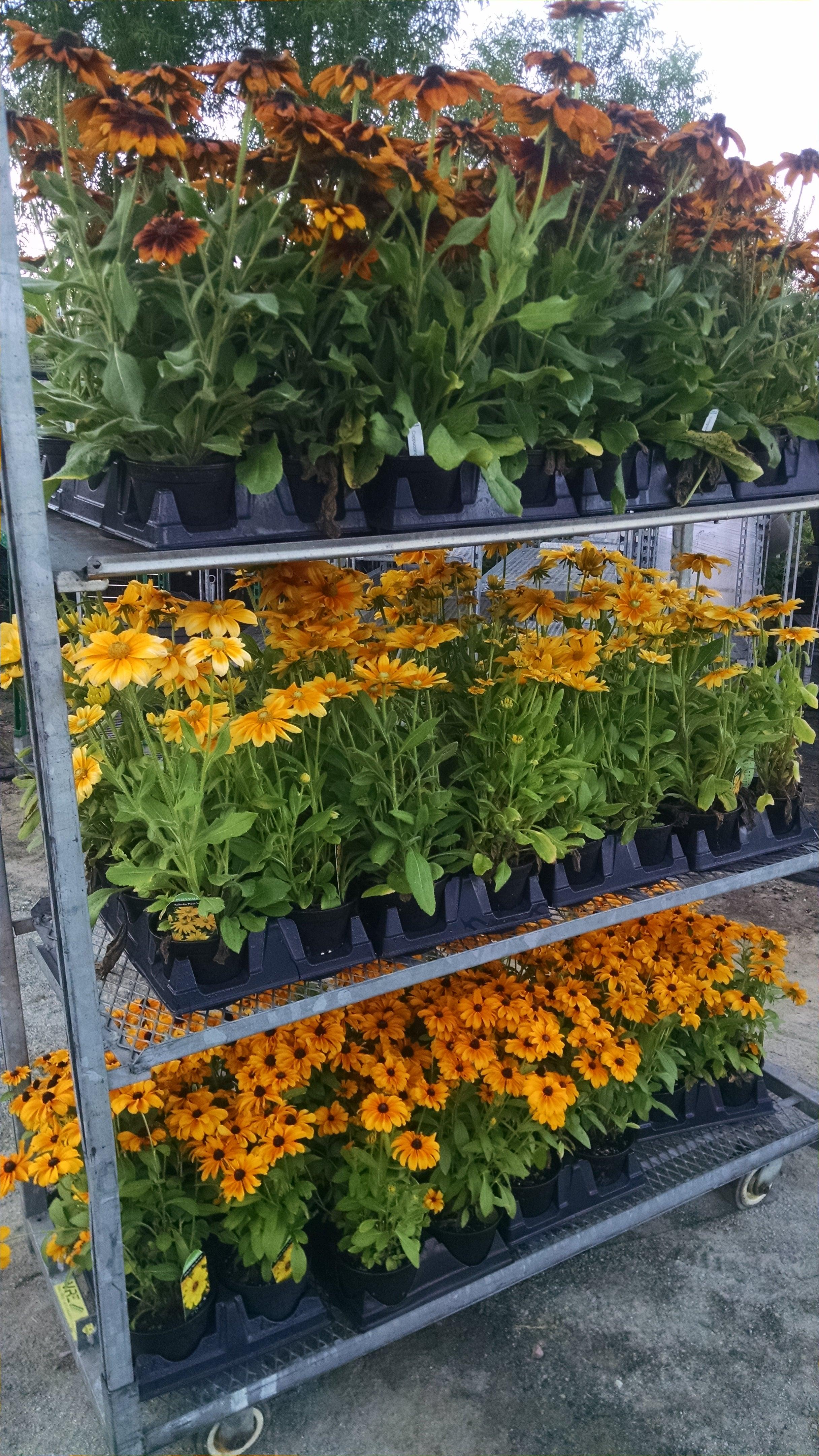 Rudbekia Flowers.jpg