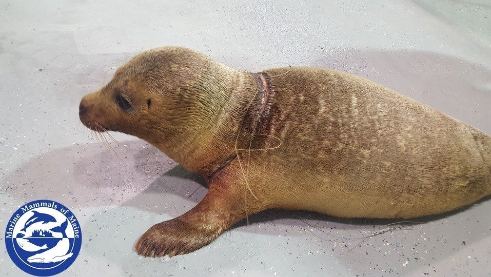 harbor seal rescued