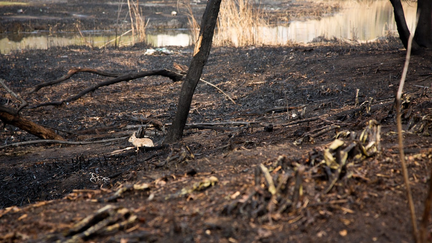 A rabbit pictured following a brush fire in Fenway on April 28.
