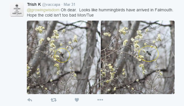 Hummingbirds arrive in Falmouth, Ma 4-1-16 Credit @vaccapa