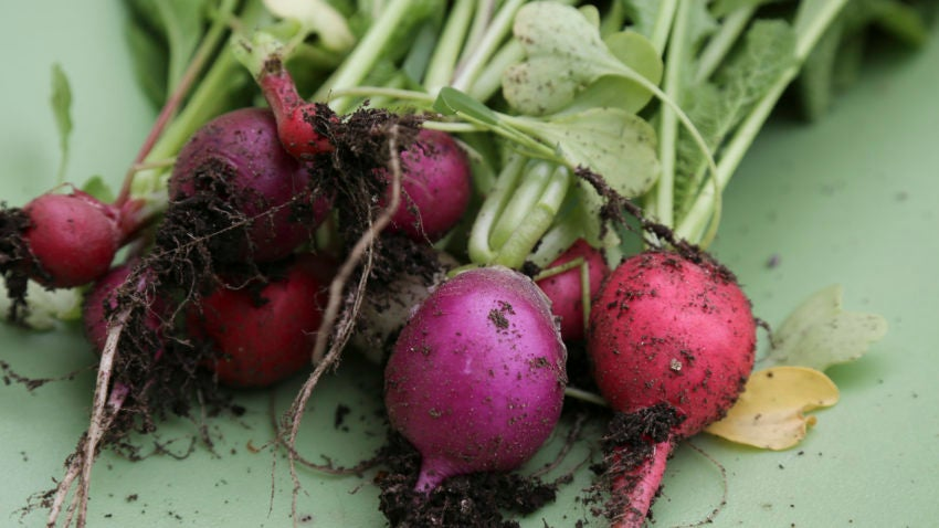 With the help of Green City Growers, Sasaki is growing radishes, lettuce, tomatoes, and cucumbers.