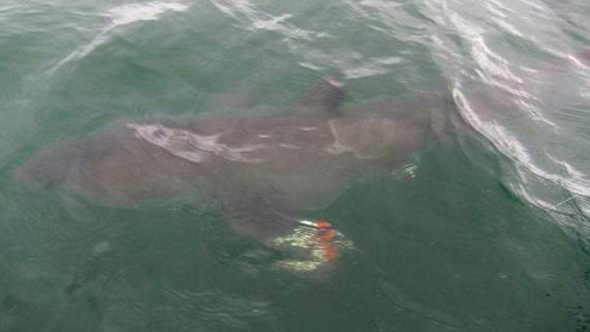 Best Used Family Car >> 6-year-old hooks great white shark off Cape Cod | Boston.com