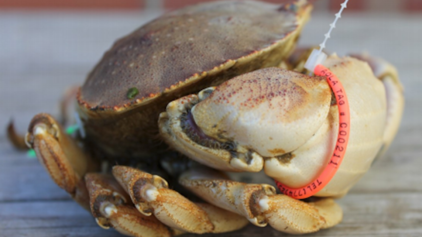 Finding Jonah Locate A Tagged Jonah Crab And You Could