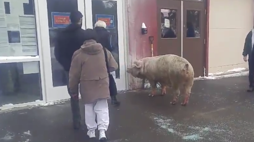 An escaped pig weighing more than 600 pounds strolls up to a polling location in Pelham, New Hampshire.