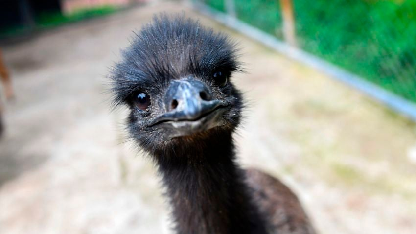abington man taken to hospital after emu scratches him boston com