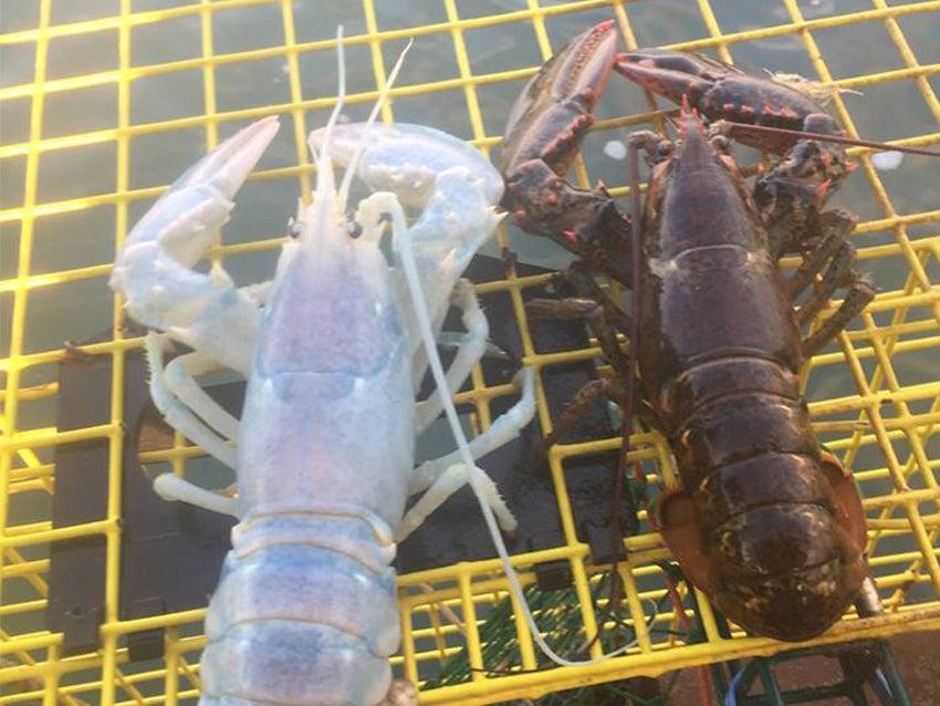 White lobster