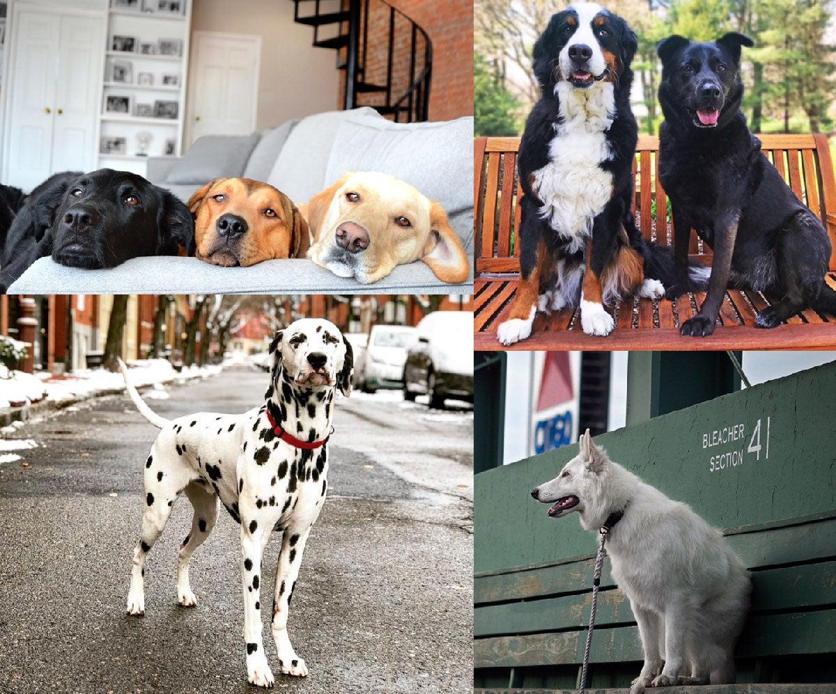 boston dogs of Instagram